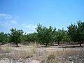 Campo de albaricoqueros en Isso (Hellín - Albacete).JPG