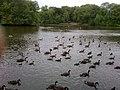 Canada geese on Heaton Park boating lake - geograph.org.uk - 1962297.jpg