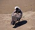 Canada goose (40259).jpg