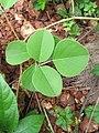 Canavalia maritima from Kavvayi, Kerala (5).jpg