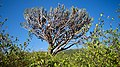 Candelabra cactus.jpg