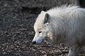 Canis lupus arctos IMG 9109.jpg