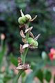 Canna fruits.jpg