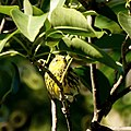Cape May Warbler (5270339163).jpg