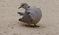 Cape Turtle-dove (Streptopelia capicola) (6451620161).jpg