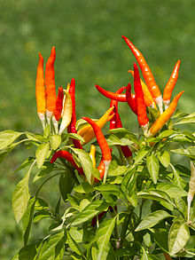 Red chili peppers on a bush