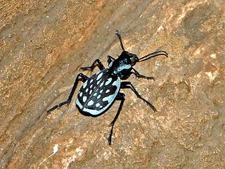 <i>Graphipterus</i> Genus of beetles