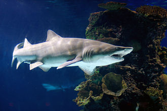 Sand tiger shark - Sand shark in the Newport Aquarium