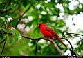 Cardinal (Cardinalis cardinalis).jpg
