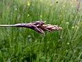 Carex disticha inflorescens (08).jpg