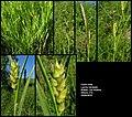 Carex hirta (02).jpg