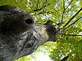 Carpinus betulus (5).JPG