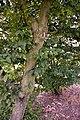 Carpinus betulus water sprouts (02).jpg