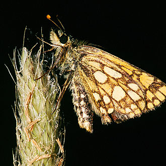 Chequered skipper - Image: Carterocephalus palaemon.2305