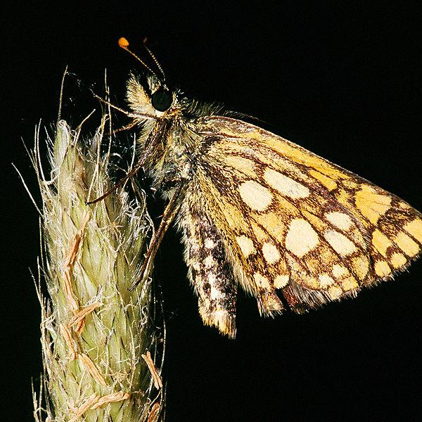 Ficheiro:Carterocephalus palaemon.2305.jpg