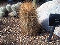 Caryophyllales - Parodia maassii 1.jpg