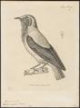 Casmarhynchus variegatus - 1700-1880 - Print - Iconographia Zoologica - Special Collections University of Amsterdam - UBA01 IZ16600157.tif