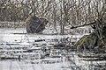 Castor fiber 07(js), Narew River, Poland.jpg