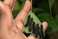 Caterpillars of Symbrenthia lilaea (Hewitson, 1864) – Northern Common Jester WLB-NEI DSC 4387.jpg