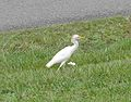 Cattle Egret (Bubulcus ibis) on Vieques Island - Flickr - Jay Sturner (1).jpg