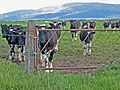 Cattle beside the A714 - geograph.org.uk - 455163.jpg