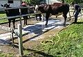 Cattle grooming.JPG