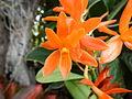 Cattleya aurantiacajf9273 09.JPG
