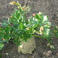 Celeriac growing at RHS Wisley.jpg