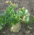 Celeriac growing at RHS Wisley.jpg