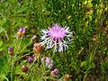 Centaurea × moncktonii 5435714.jpg