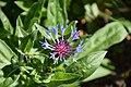 Centaurea montana 02.jpg