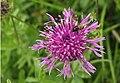 Centaurea scabiosa (14188279816).jpg