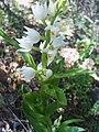 Cephalanthera longifolia Plant 28Mach2009 SierraMadrona.jpg