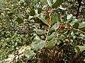 Ceratonia siliqua - χαρουπιά.jpg