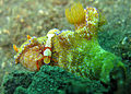 Ceratosoma tenue with Emperor Shrimp.jpg