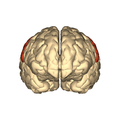 Cerebrum - postcentral gyrus - anterior view.png