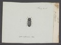 Cerylon - Print - Iconographia Zoologica - Special Collections University of Amsterdam - UBAINV0274 017 10 0021.tif