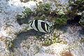 Chaetodon striatus (banded butterflyfish) (San Salvador Island, Bahamas) 2 (15551997013).jpg