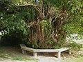 Chailey Church yew tree.JPG
