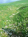 Chamomile Flowers Grow Naturally in Redjas (Algeria) 4.jpg