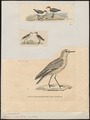 Charadrius ruficapillus - 1700-1880 - Print - Iconographia Zoologica - Special Collections University of Amsterdam - UBA01 IZ17200255.tif