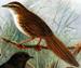 Chatham Fernbird