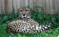 Cheetah (2689595042).jpg