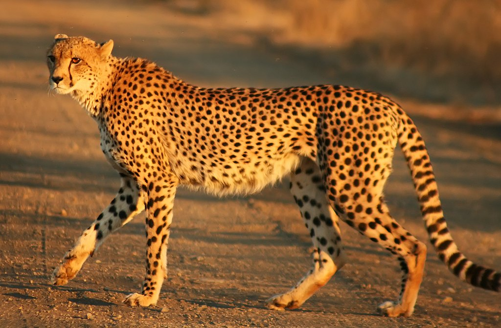 Cheetah in Kruger National Park (South Africa). Image by Mukul2u, 2008