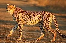 Cheetah Kruger.jpg