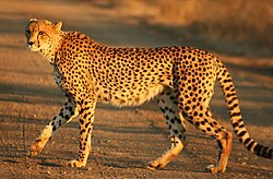 Cheetah Speed and Strong Animal