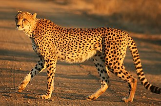 Southeast African cheetah - A regular cheetah at Kruger National Park, South Africa