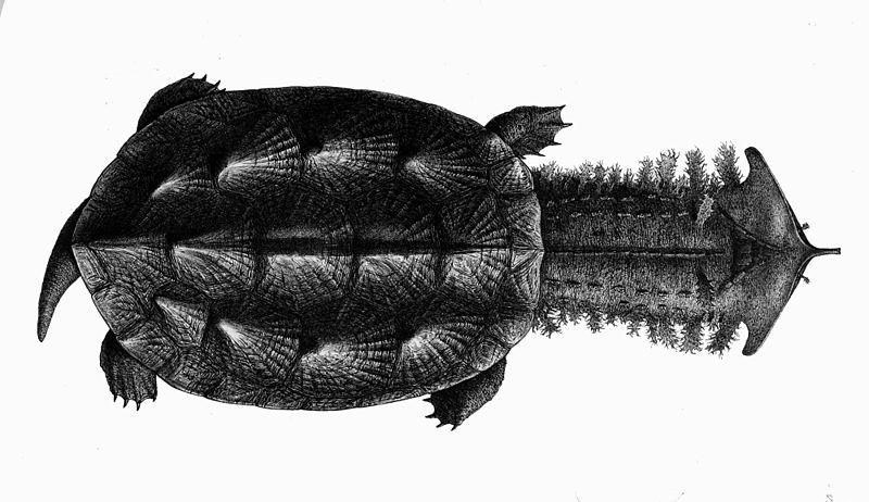 File:Chelus fimbriatus.jpg
