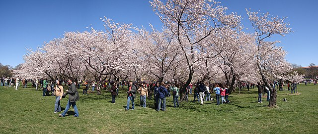 A grove of cherry trees on the national mall taken during the National Cherry Blossom Festival.