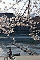 Cherry blossom 2011 (5640990349).jpg